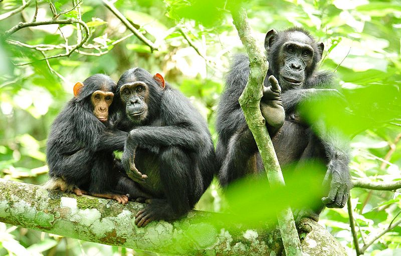 Aprendendocom chimpanzés